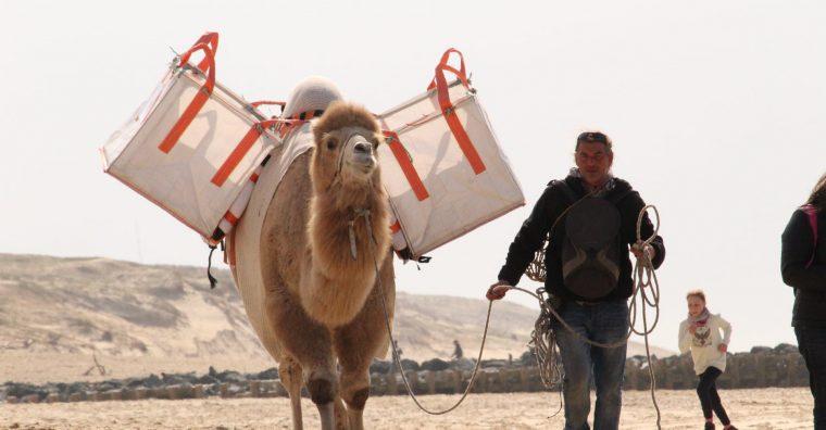 Illustration de l'article Camel'Idées nettoie les plages à dos de dromadaire