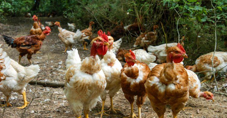 Illustration de l'article Maïsadour : Le retour du poulet landais